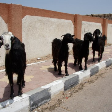 Goats on the pavement