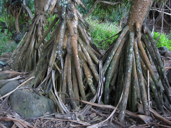 Cool looking tree roots
