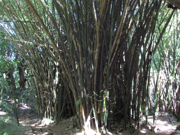 Bamboo - it's big