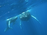Swimming with Humpbacks –  a very humblingexperience