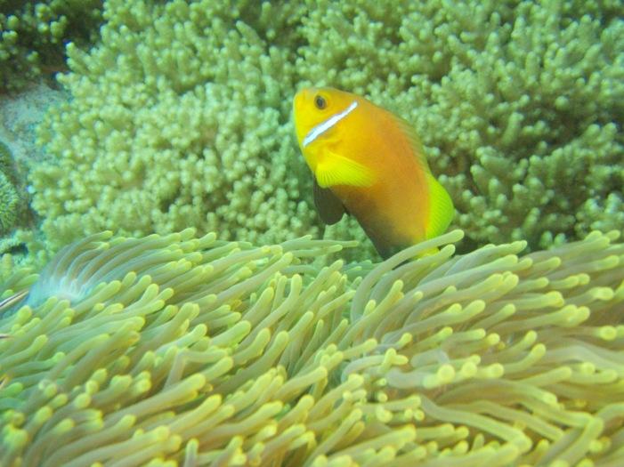 Anemone fish, Kuredu Exoress