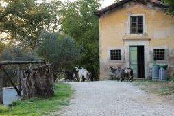 The goats in Pian di Fiume come with included