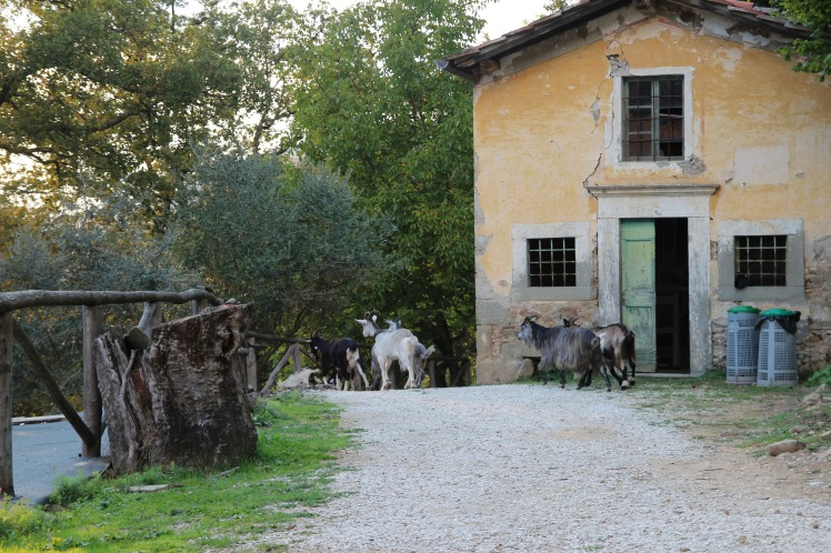 The goats in Pian di Fiume are included