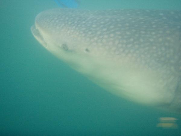 Whaleshark face